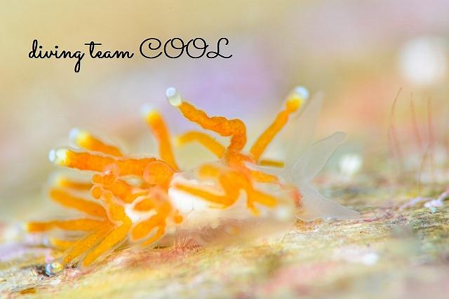 沖縄本島マクロダイビング コモリミノウミウシ