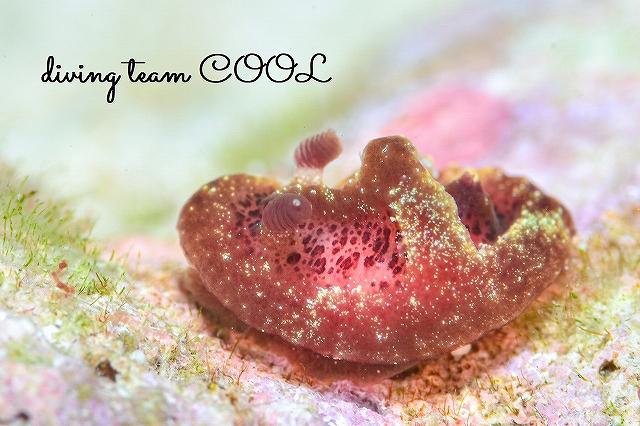 沖縄本島マクロダイビング アメシストウミウシ