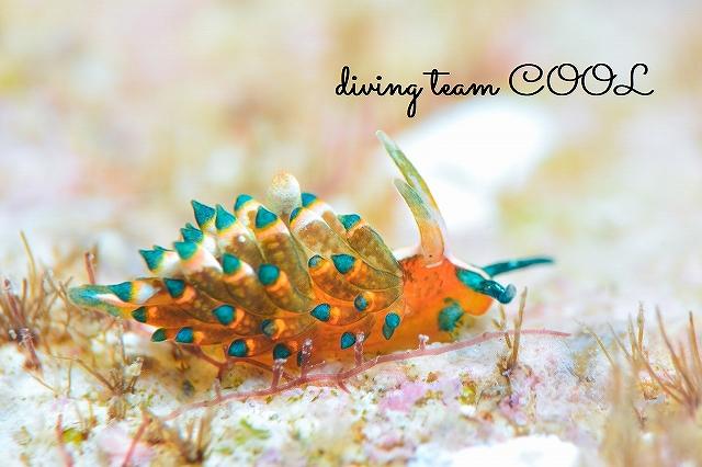 沖縄本島マクロダイブ 砂辺 ターコイズミノウミウシ