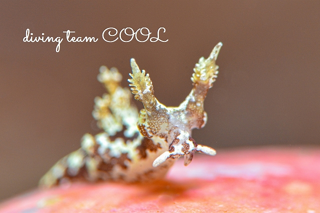 沖縄本島マクロダイブ 砂辺 モウサンウミウシ