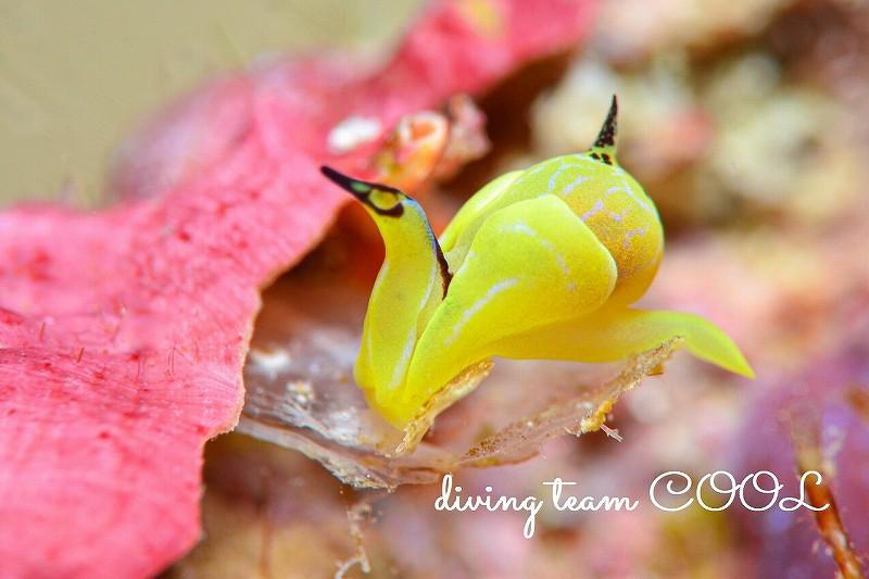 沖縄本島マクロダイブ ダンボウミコチョウ