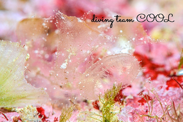 沖縄本島マクロダイブ マツゲメリベウミウシ