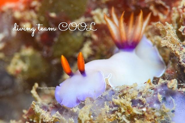 沖縄本島東海岸ビーチ ツユクサイロウミウシ
