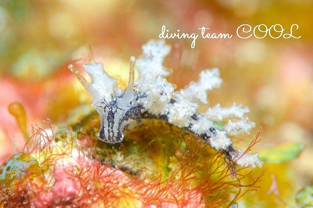昆布ビーチ オキナワシロマツカサウミウシ