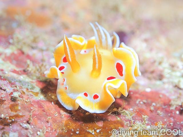 沖縄本島東海岸ビーチ アカテンイロウミウシ