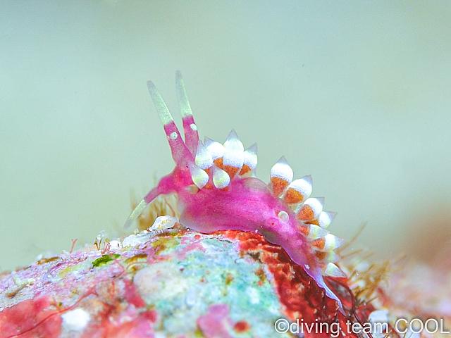 沖縄本島東海岸ビーチ ローズミノウミウシ