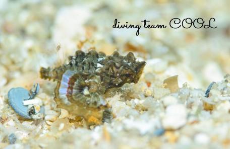 沖縄本島ビーチダイブ ウミテング幼魚