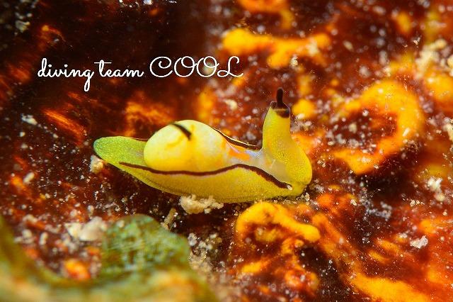 沖縄本島 クロフチウミコチョウ