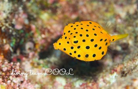 沖縄本島ビーチダイブ ミナミハコフグ幼魚