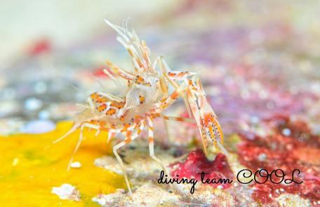 沖縄本島マクロダイブ トゲツノメエビ