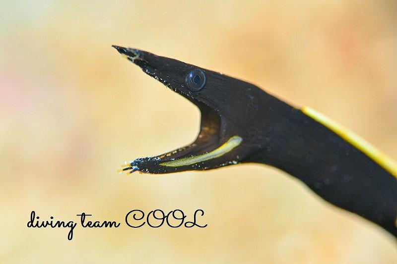 砂辺ビーチダイブ ハナヒゲウツボの幼魚