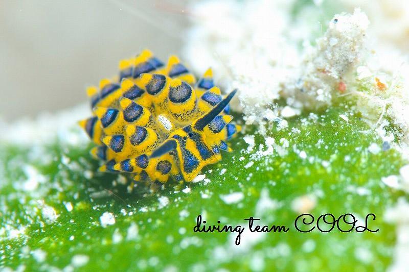ケラマ ミナミアオモウミウシ
