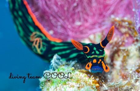 ケラマ諸島 アカフチリュウグウウミウシ